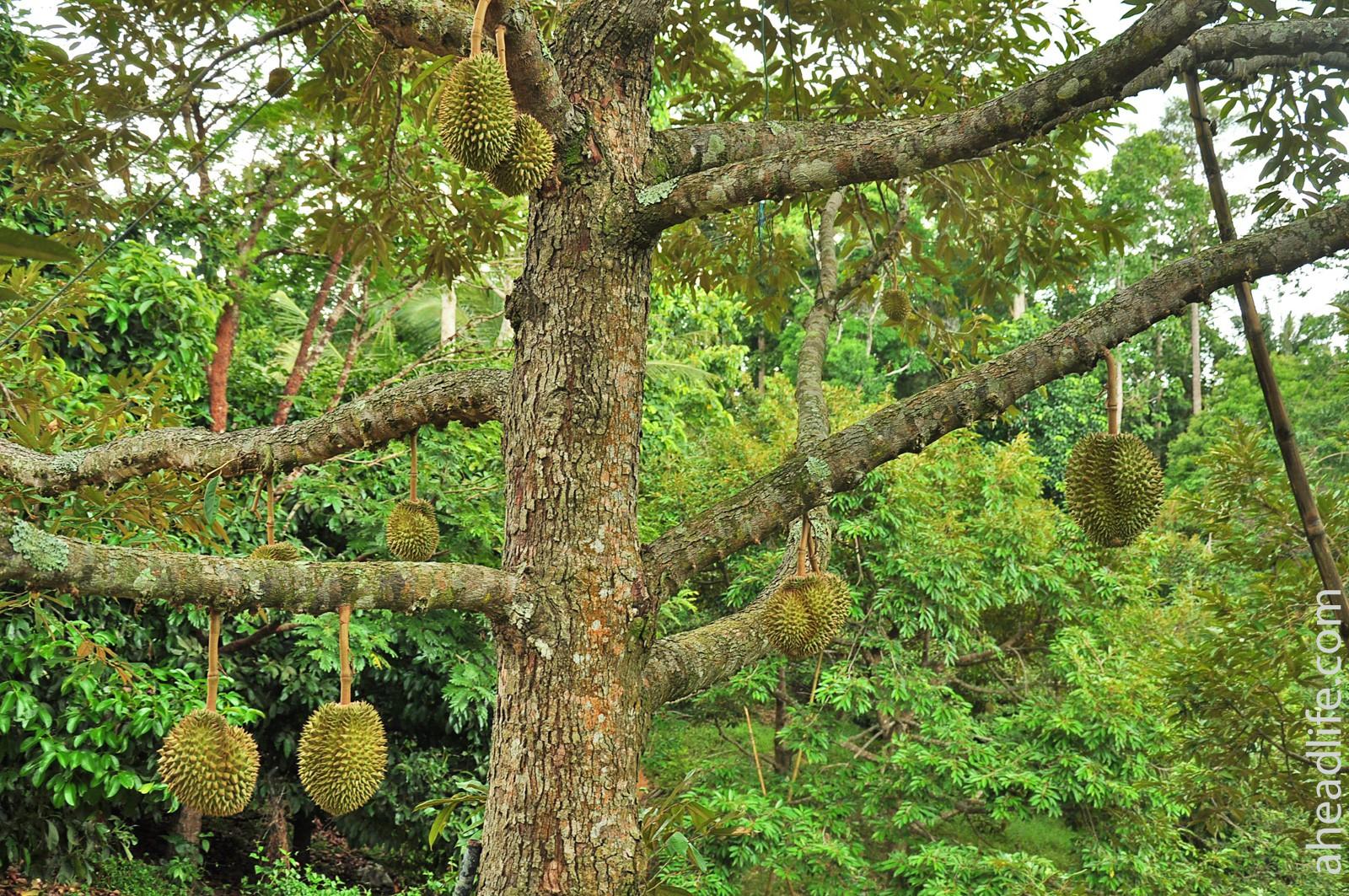 Как растут дурианы