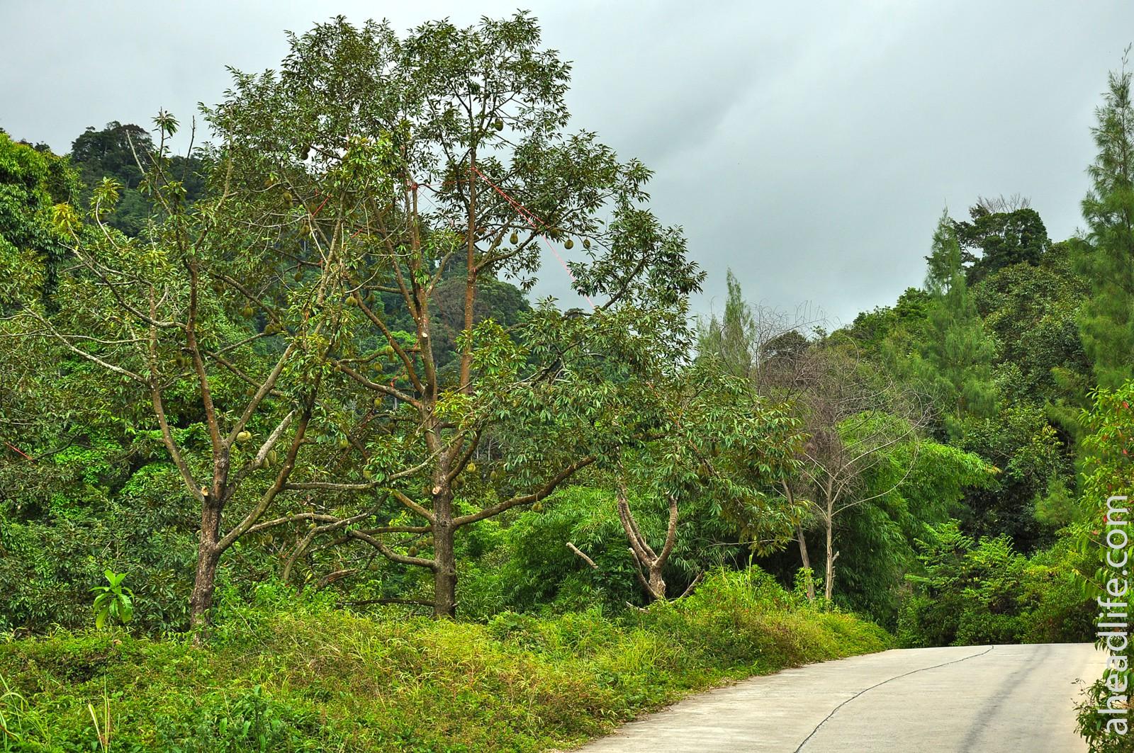 Дуриановые деревья