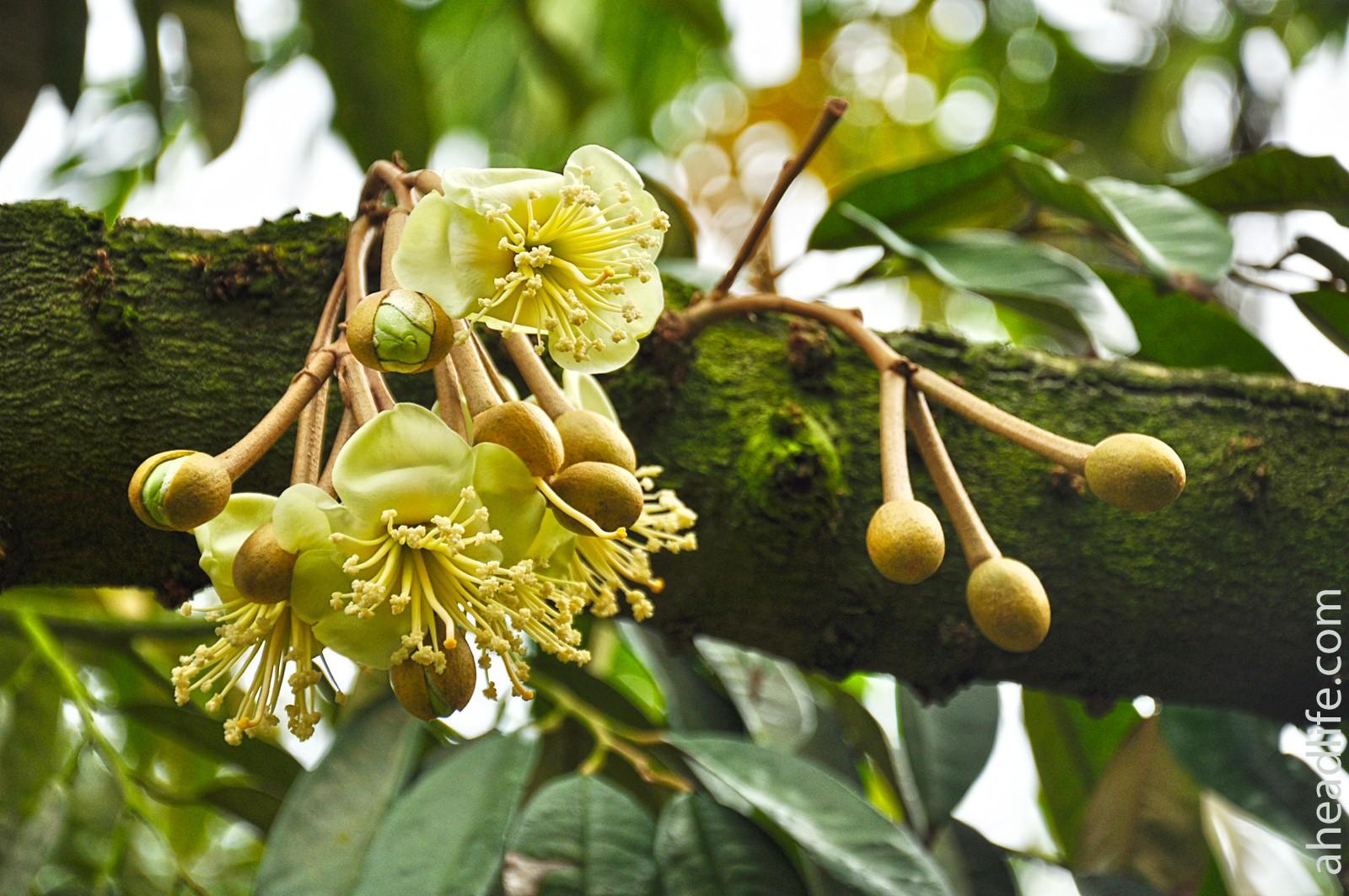 Цветы дуриана