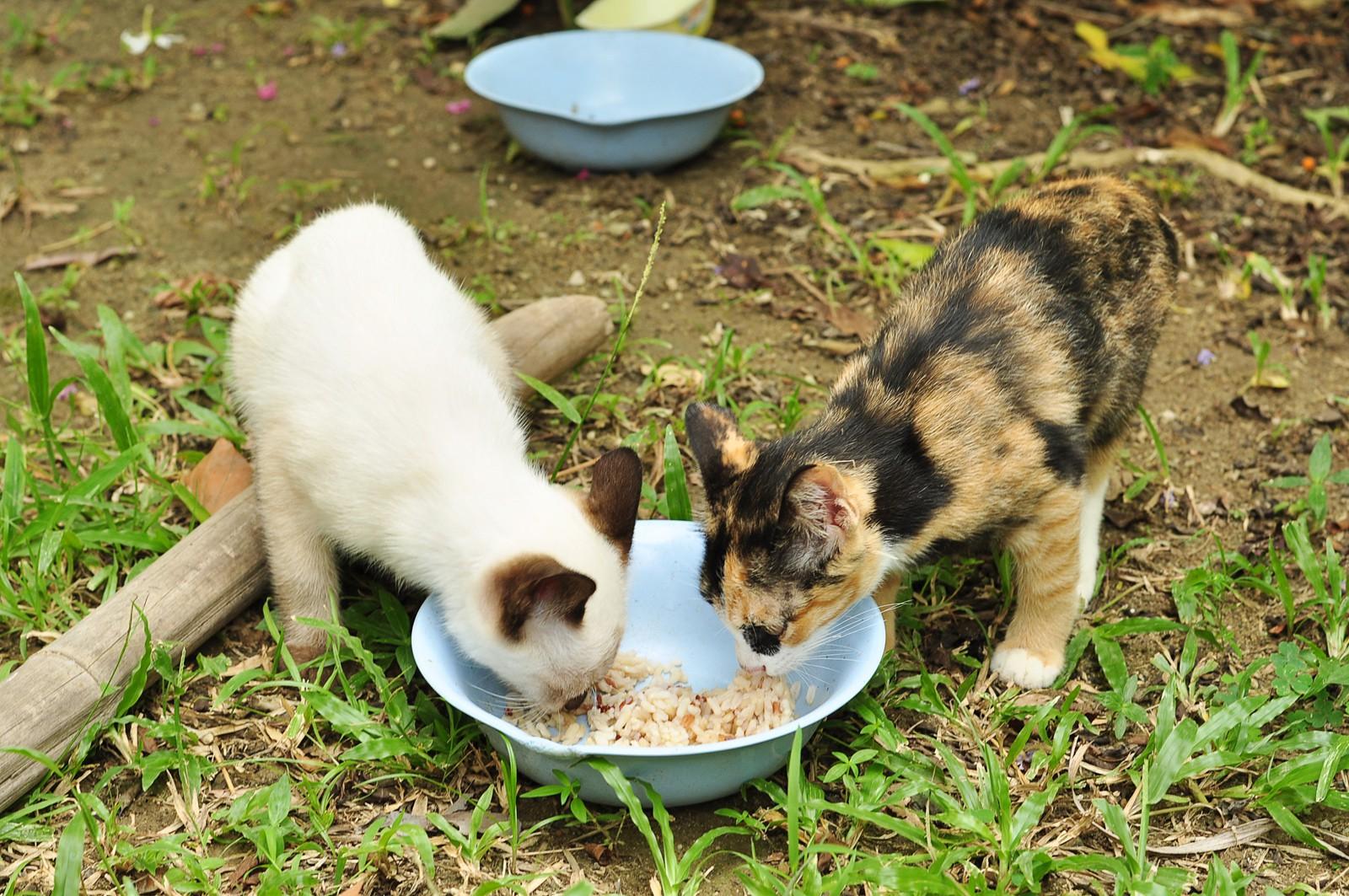 Оголодавшие котаны жрут рис